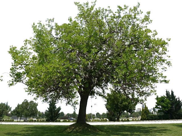 マホガニーの木