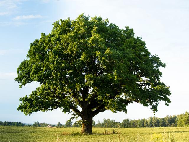 オーク材の木