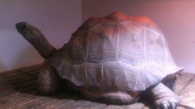 アルダブラゾウガメ  飼い込み個体オス (委託販売)の画像