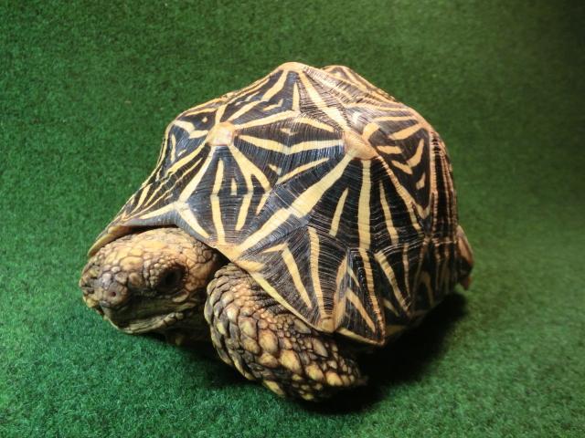 インドホシガメフルアダルトメス 77番 極美ラインの画像