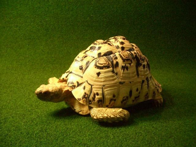 パブコック ヒョウモンガメホワイトタイプサブアダルト2番♀の画像