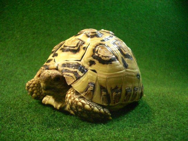 バブコック ヒョウモンガメUSCB個体 52番ホワイトタイプの画像