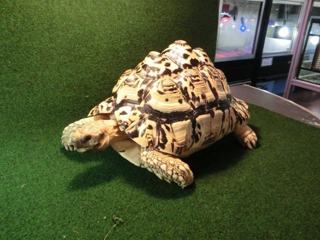 パブコック ヒョウモンガメホワイトタイプ アダルトメス飼い込み個体の画像