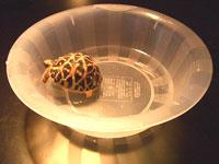 温浴中のリクガメ