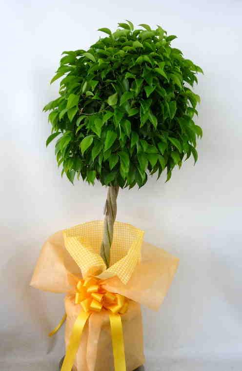 観葉植物 ベンジャミン画像