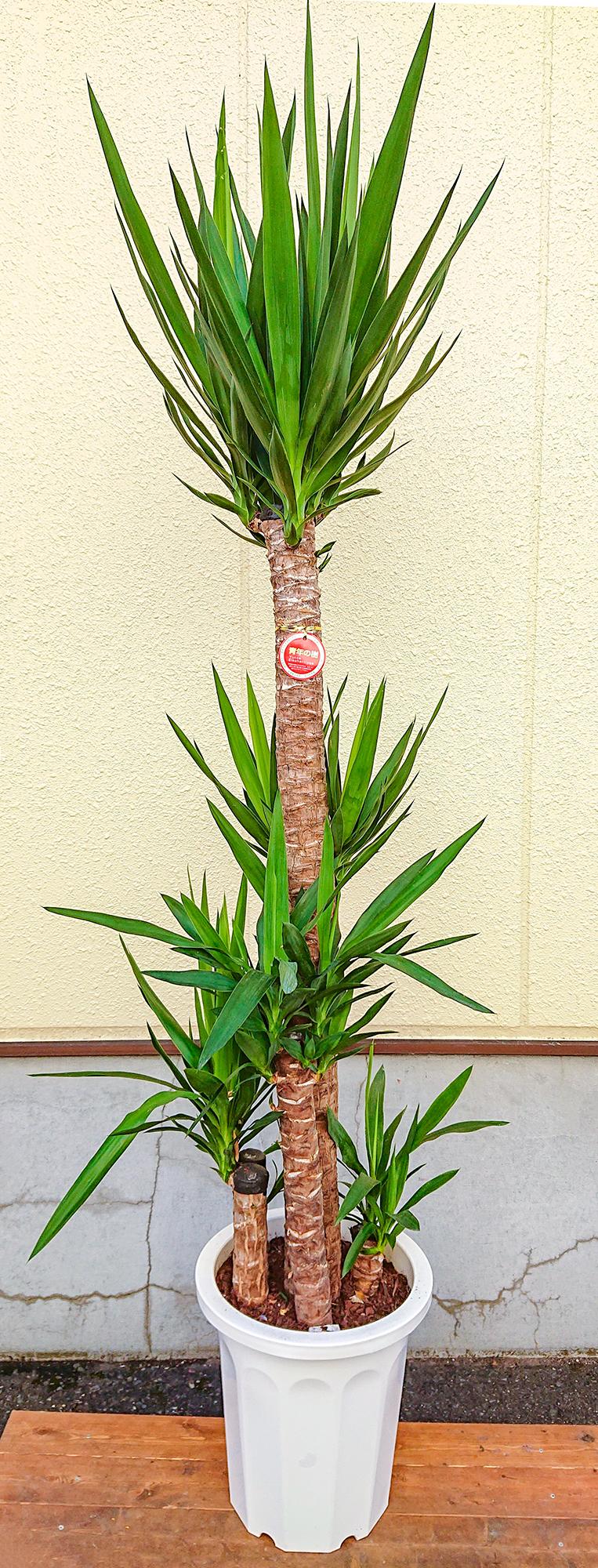 ユッカ・青年の樹[10号鉢]画像